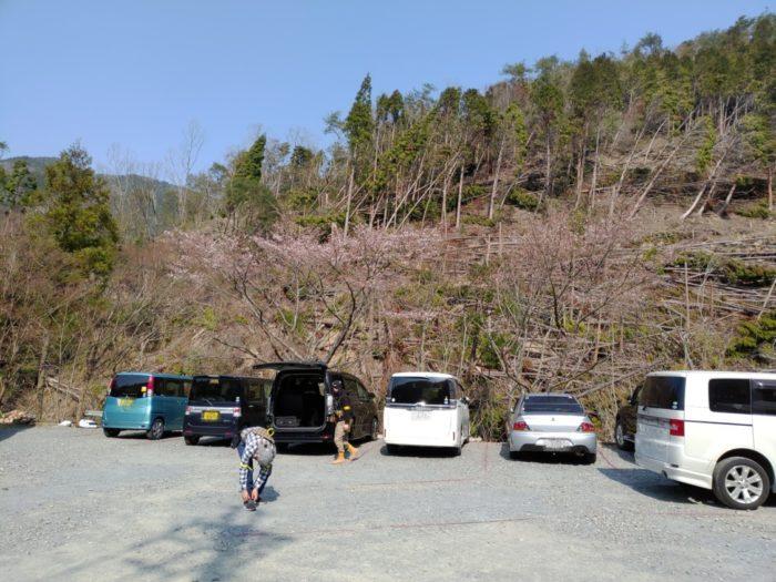 ボーダーゾーン 駐車場の桜